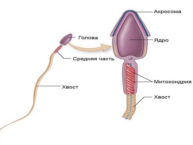 морфология спермы