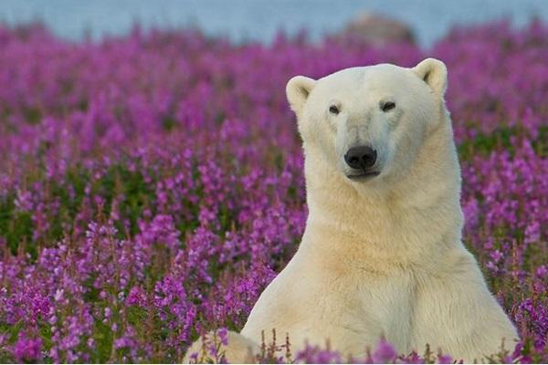 медведь среди цветов иван-чая