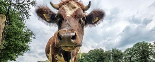 Беспокойство из-за болей в животе у коровы