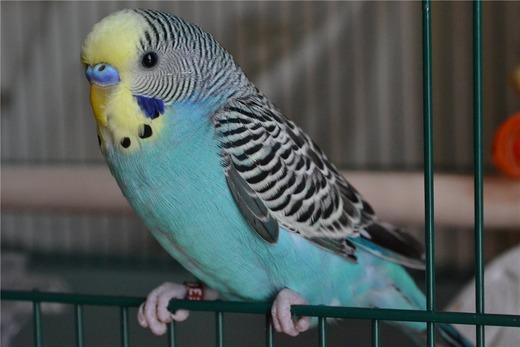 Симптомы заболевания у попугая