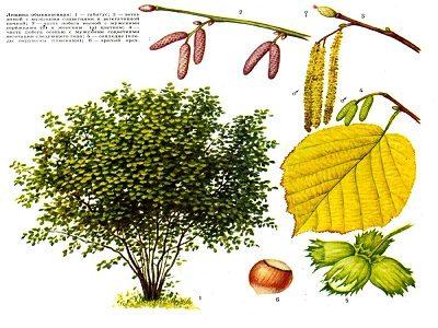 полезные свойства орешника