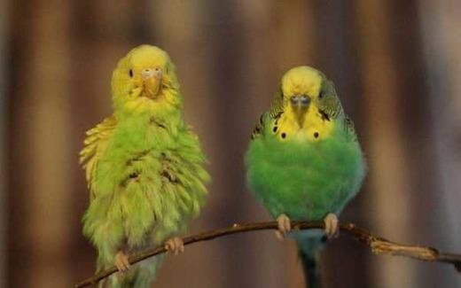 Здоровье волнистого попугая