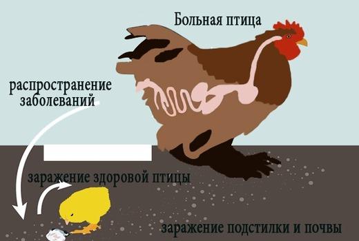 Распространение заболеваний у кур