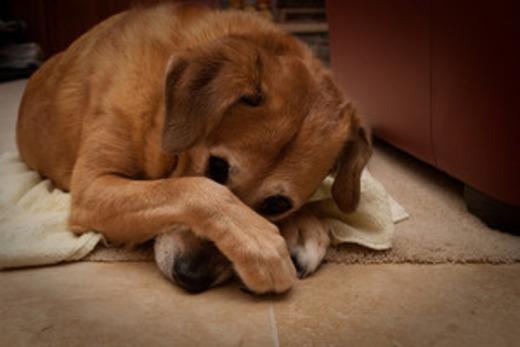Больной пес