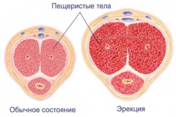пещеристые тела члена