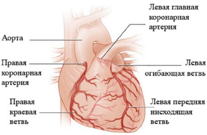 Размещение аорт в сердце человека