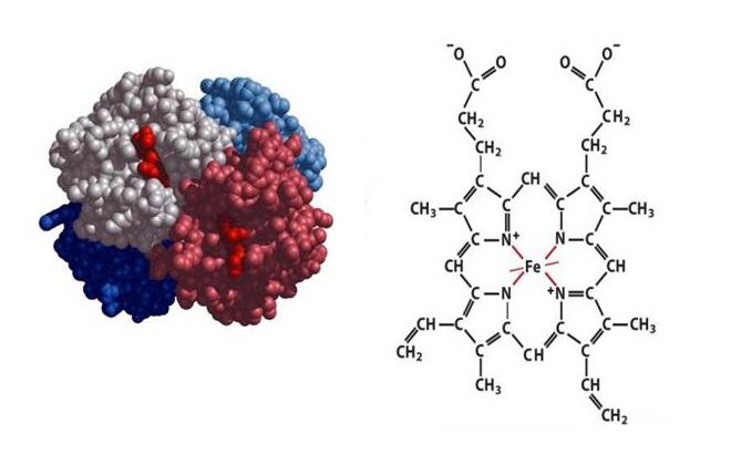 Строение клетки гемоглобина