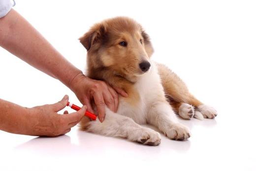 Вакцинация молодых собак
