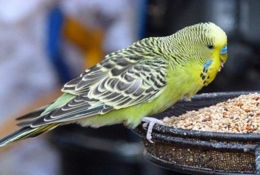 Понос от корма у попугаев