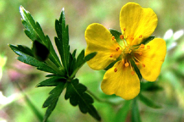 цветок калгана