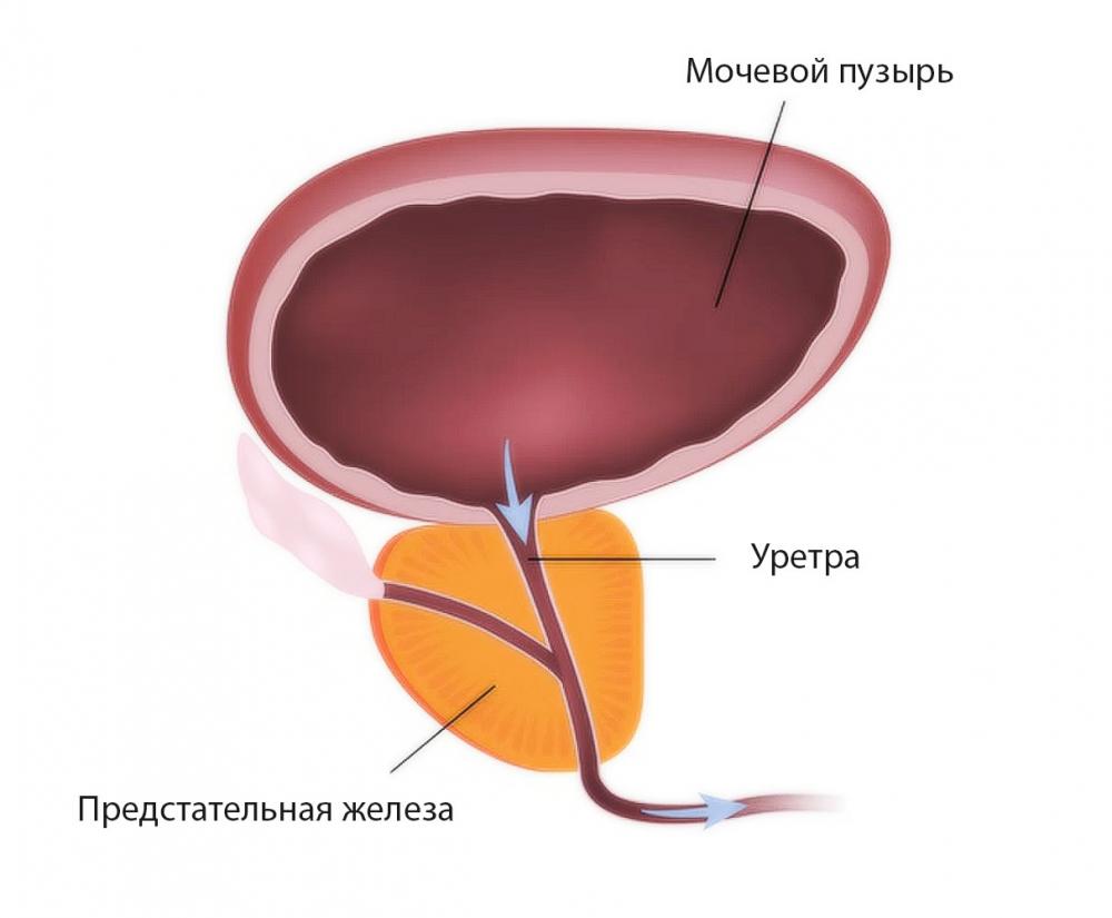 Анатомия простаты: доли предстательной железы
