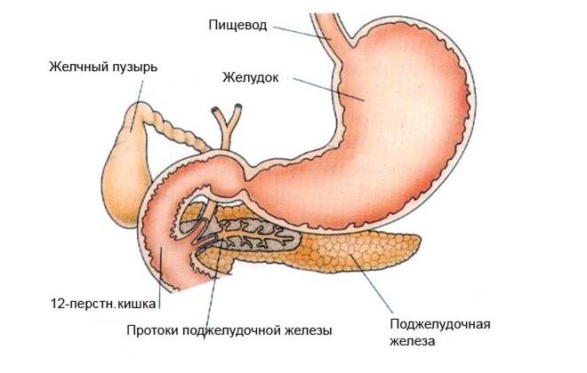 Желудочно-кишечный тракт здорового человека