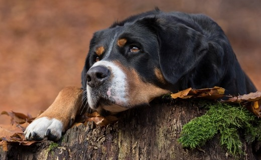 Очень усталый пёс