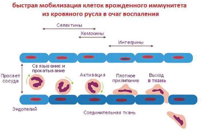норма лейкоцитов в сперме
