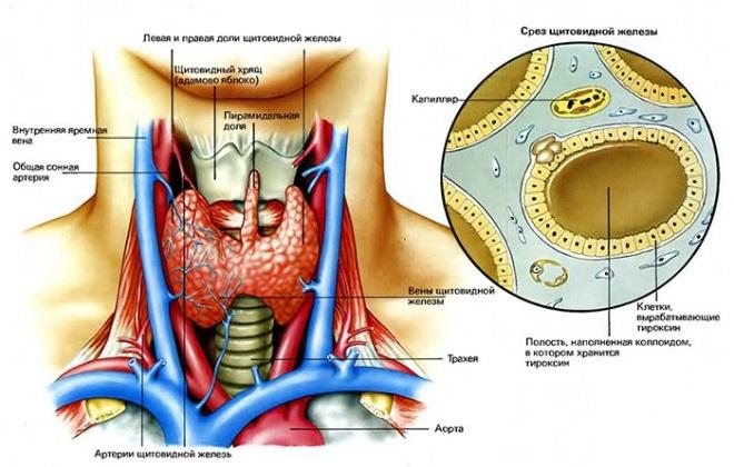 Срез щитовидной железы