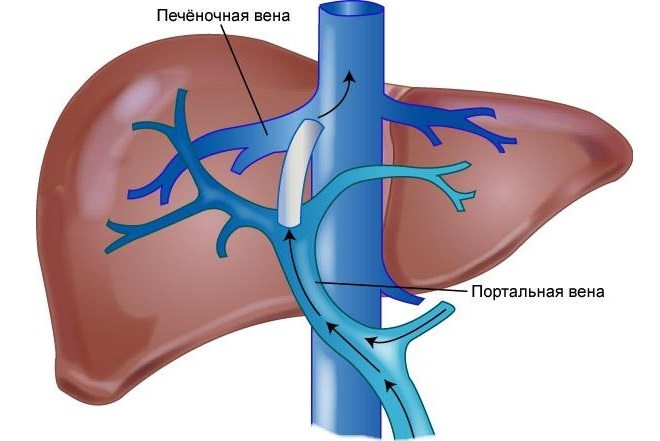 Пересечение вен печени с кровеносной артерией