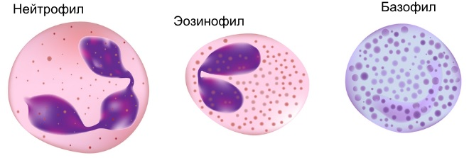 Разновидность лейкоцитов