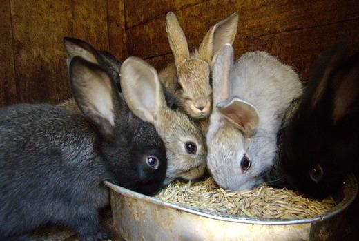Семейство молодых кроликов