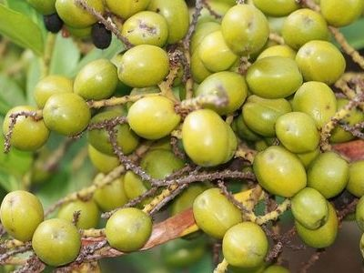 компонент простамола плоды ползучей пальмы