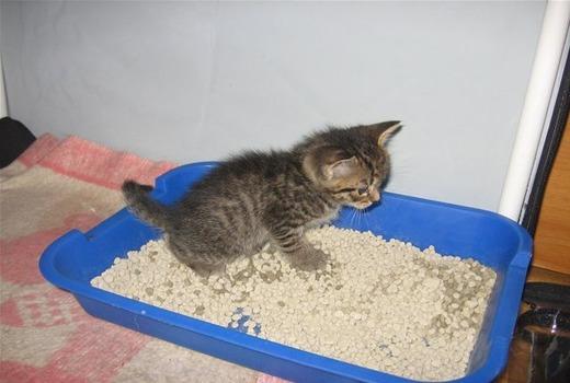 Котенок учится ходить в лоток