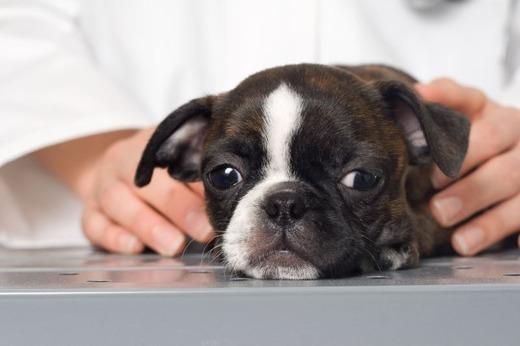 Больной щенок