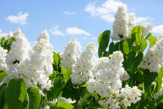 Соцветия растения от поноса