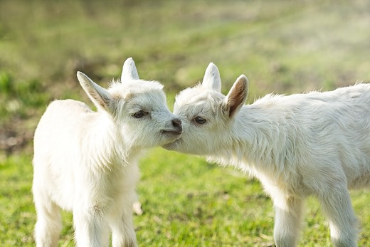 Два белых козленка на лужайке