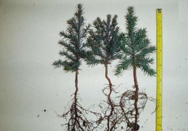 Корень можжевелового дерева