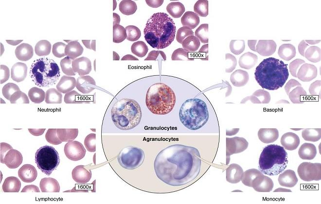 Кровянистые тельца разных людей
