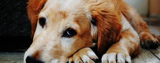 Состояние собаки при продолжительной рвоте