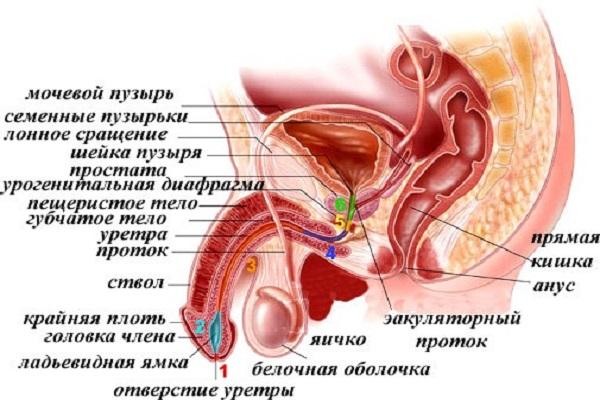 лечение простатита орешником
