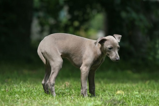 Серый пёсик на лужайке