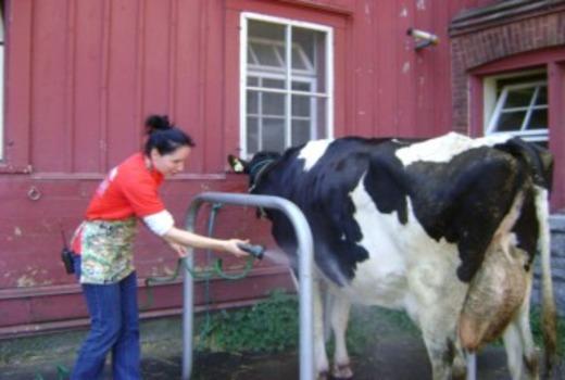 Корову обмывают тёплой водой