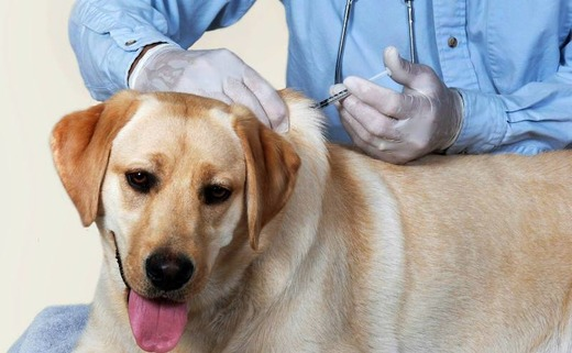 Собаке делают укол в шею